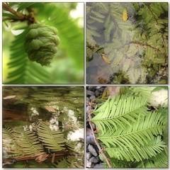 (Tlgyesi Kata) Tags: autumn green water fruit japanesegarden mosaic budapest botanicalgarden mozaik dawnredwood metasequoiaglyptostroboides fvszkert botanikuskert japnkert withcanonpowershota620 knaimamutfeny