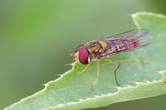 Episyrphus balteatus (4) (saracenovero) Tags: flies syrphidae diptera 2015 episyrphusbalteatus mazeikiai fliesoflithuania
