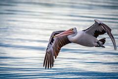 Australian Pelican in flight (James A Collins) Tags: winter bird nature animal flying victoriapark wildlife au australia pelican westernaustralia swanriver birdinflight australianpelican
