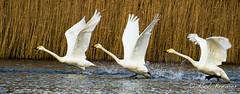 Wilde Zwaan / Whooper Swan -1610 (rob.bremer) Tags: bird nature water birds outdoor wildlife dunes natuur aves birdsinflight duinen castricum kennemerduinen whooperswan cygnuscygnus duinlandschap wildezwaan infiltratiegebied noordhollandsduinreservaat
