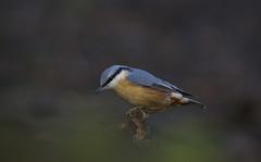 Nuthatch (J J McHale) Tags: nature scotland bokeh wildlife explore nuthatch birdwatcher
