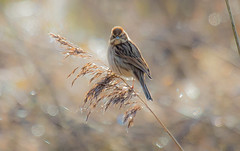 Reed Bunting female (The Rustic Frog) Tags: camera morning 2 england reed nature sunshine female digital canon lens eos mark brandon reserve ii 7d marsh 100400mm warwickshire bunting