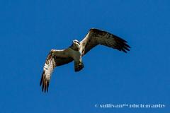 IMG_2552 (sullivan) Tags: nature animal taiwan sullivan  osprey    ef300mmf4lisusm   canoneos7d   newtaipeicity    adobephotoshoplightroom5 suhaocheng