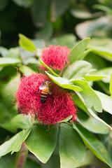 Malaysian honeybee (quinet) Tags: bee sarawak malaysia kualalumpur kuching biene 2015 abeil
