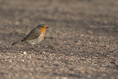 rouge gorge (vyclem78) Tags: hiver iledefrance fort oiseaux rambouillet rougegorge decembre