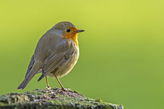 Robin (Tom Rop) Tags: bird nature animal canon erithacus bokeh 300mm oiseau f4 oiseaux rougegorge familier passeriformes rubecula 600d passereau