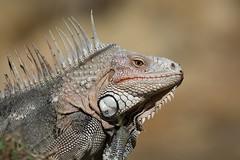 """Green Iguana Portrait"" (Jesse_in_CT) Tags: iguana greeniguana"