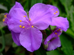 Tradescantia (yewchan) Tags: flowers flower nature colors beautiful beauty closeup garden flora colours gardening vibrant blossoms blooms lovely spiderwort tradescantia