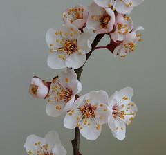 Bring spring indoors (brittajohansson) Tags: plant flower cherry spring blossom pastel twig cherryblossom flowercluster