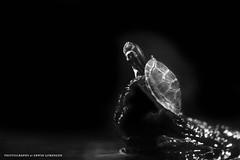 little Turtle (Erwin Lorenzen) Tags: bw nature animal zoo turtle sw elo tamron schildkrte wasserschildkrte tierfotografie canoneos5dmarkii