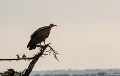 Abutre-de-capuz (dragoms) Tags: bird kenya wildlife ave ke vulture birdwatcher maasaimara hoodedvulture abutre wildlifephotography qunia necrosyrtesmonachus narok abutredecapuz wildlifeconservancy dragoms