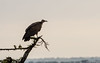 Abutre-de-capuz (dragoms) Tags: bird kenya wildlife ave ke vulture birdwatcher maasaimara hoodedvulture abutre wildlifephotography quénia necrosyrtesmonachus narok abutredecapuz wildlifeconservancy dragoms