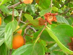 starr-060916-8878-Diospyros_kaki-fruit-Kula-Maui (Starr Environmental) Tags: diospyroskaki