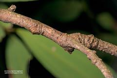 Wrap-around orb weaver (Talthybia sp.) - DSC_4265 (nickybay) Tags: macro riflerangeroad st singapore wraparound orb weaver spider araneidae talthybia