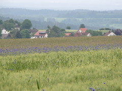 Wheat-field with corn-flowers (elisabeth.mcghee) Tags: wheat oberpfalz getreide cornflowers kornblumen getreidefeld thurndorf