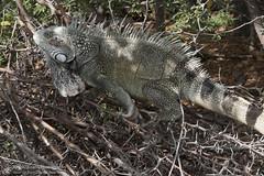 Attack of the Green Iguana (right2roam) Tags: wild island reptile wildlife lizard iguana curacao caribbean common netherlandsantilles greeniguana dutchcaribbean right2roam