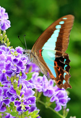 Bluebottle Butterfly 005 (DMT@YLOR) Tags: flower purple bluebottle geishagirl