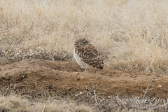 Burrowing Owl starts to stir