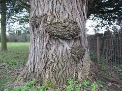 Tree trunk (Stivulya / ) Tags: treetrunk burr burl populusalba whitepoplar roughbark