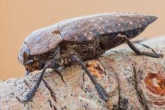 A Wood-boring Beetle (zgrkrmblr) Tags: macro bug insect tripod naturallight arthropoda macrophotography coleoptera bcek focusstack buprestidae berlebach jewelbeetle woodboringbeetle canonmpe65mmf28 manfrotto410 canon5dmarkii capnodistenebricosa sunwayfoto fieldstack manfrotto357 newport433