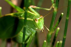 Hello there (Peter_Australis) Tags: macro green nature eyes sydney grasshopper limekilnbay