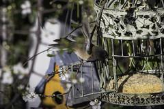Dark-eyed Junco (julesnene) Tags: california bird birdcage nature backyard feeder cage western suet darkeyedjunco juncohyemalis oregonjunco westernregion canonef400mmf56lusmlens julesnene juliasumangil canon7dmarkii canon7dmark2