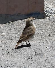 Puna Miner (Ralph Green) Tags: chile bird southamerica birds andesmountains reservanacionallosflamencos salardetara punaminer minerodelapuna geosittapunesis