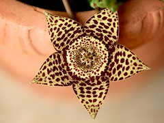 Stapelia (peet-astn) Tags: flower southafrica garden pot vase stapelia carrionflower fiore