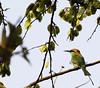 Green Bee-eater (Sanga-n-Ignis) Tags: nature beeeater purulia baranti