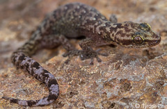 Afroedura marley - Marleys Flat Gecko (Tyrone Ping) Tags: africa mountains macro up animals canon close wildlife south southern gecko marley reptiles herps kwazulunatal herpetology afica lebombo 100mmmacrof28 afroedura canon7d northernzululand flatgecko