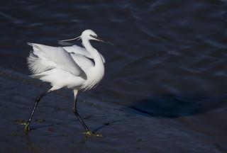 Little Egret (explored)