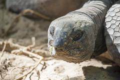Testuggine delle Seychelles (Mauro_Amoroso) Tags: wild nature animal animals zoo nikon adventures nationalgeographic natgeo nital lecornelle parcofaunistico nikonitalia parcofaunisticolecornelle
