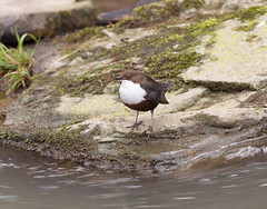 Dipper (microwyred) Tags: birds wildlife places dipper wyreforest dowlesbrook