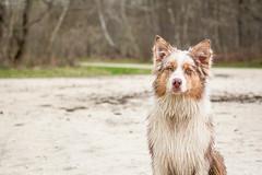 Lemon (Maliss Cogrel) Tags: chien dogs rouge photo australian yeux australien extrieur merle fort regard sheperd berger oreilles mouill verts droites