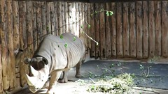 Black Rhino Video! ('cosmicgirl1960' NEW CANON CAMERA) Tags: animal zoo video devon rhino rhinoceros blackrhino painton yabbadabbadoo