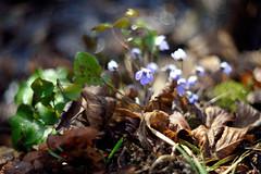 Hepatica nobilis () Tags: flowers flower primavera petals spring purple bokeh erba anemone fiori fiore viola petali trinit nobilis hepatica liverwort sottobosco