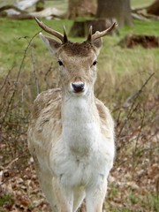 Richmond Park, London, England, Easter Sunday 2016 (PaChambers) Tags: park uk morning southwest west london easter europe south country sunday royal parks richmond deer 2016 patk