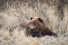 Blas brownie (frostnip907) Tags: bear alaska grizzly brownbear grizzlybear alaskawildlifeconservationcenter canon7d tamron150600mmf563spdivcusd
