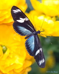 Doris Longwing (Heliconius doris viridis) Blue Morph - Hidden Jungle - San Diego Zoo Safari Park (Jim Frazee) Tags: bluemorph dorislongwing hiddenjungle sandiegozoosafaripark heliconiusdorisviridis