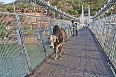 bridge over the Ganges River (Pejasar) Tags: bridge india boys rishikesh gangesriver holycow