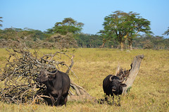LN_safari_waterbuffalo_02 (chiang_benjamin) Tags: africa morning game water animal animals nationalpark kenya reserve bufallo lakenakuru