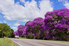 Purple Glory traffic stopper (Tatters ) Tags: road flowers trees purple australia queensland purpleflowers floweringtree floweringtrees tibouchina melastomataceae blackallrange tibouchinagranulosa oloneo