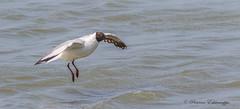 BHG2 (drpravi) Tags: birds gull brownheadedgull