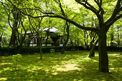 Shinryoku  (PV9007 Photography) Tags: new green japan spring kyoto  april  kansai frhling   sakyoku  2016  ahorn shinnyodo  shinryoku