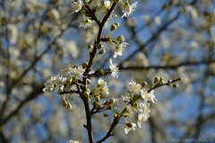 (Sandra Kirly Pictures) Tags: tree germany outdoor blooming odenwald