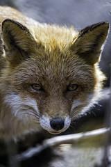 Fox looking at me... (Tambako the Jaguar) Tags: shadow red portrait face zoo switzerland nikon looking farm canine calm fox bern d4 canid johnskleinefarm