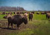 Bison (annabelleny Thank you for your many views and comm) Tags: farm textures bison flypaper