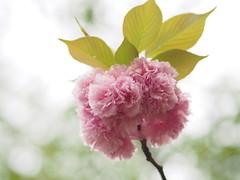 (Polotaro) Tags: flower nature pen olympus  sakura    4    mzuikodigital45mmf18 epm2