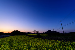 Rape blossoms at dusk (kurumaebi) Tags: sunset nature landscape nikon blossom dusk d750 yamaguchi 花 菜の花 秋穂 山口市