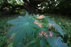 C1_2016-157465 (HamimCHOWDHURY  [Active 01 Feb 2016 ]) Tags: pink flower nature srinagor hamimchowdhury framebangladesh hijolphool